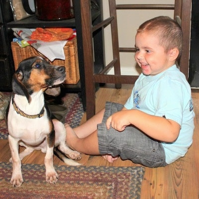 A tricolor white, brown and black Queen Elizabeth Pocket Beagle dog is sitting on a rug and it is looking up and to the right. There is a toddler sitting next to the dog laughing at it.