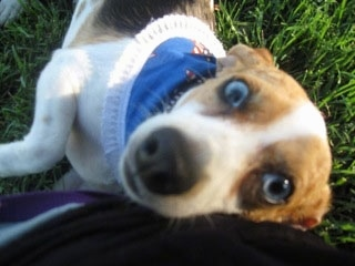 Close up - A blue-eyed, white, brown and black Queen Elizabeth Pocket Beagle is laying in grass and against a person's hip.