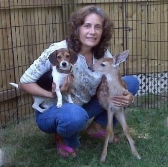 A lady is kneeling in a yard as she holds a baby deer and a small tricolor white, brown and black Queen Elizabeth Pocket Beagle.