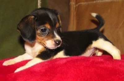 Side view - A tricolor white and black with brown Queen Elizabeth Pocket Beagle puppy is laying across a red blanket and it is looking to the right.
