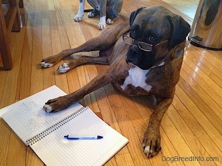 A brown brindle Boxer dog laying on the floor wearing human reading glasses with his front paw on the right side of an open notebook and a pen on the left