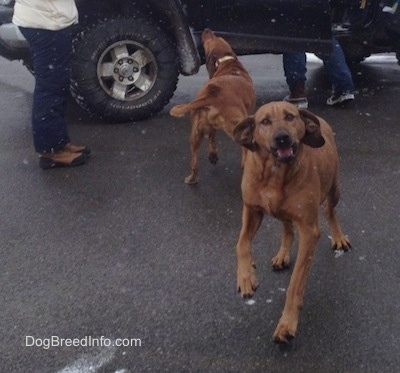 Two large breed Redbone Coonhounds are standing on a blacktop surface. One is running to the Jeep behind it and the other is running forward.