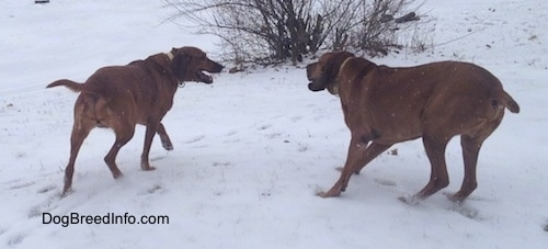 Two Redbone Coonhounds are standing in snow across from each other. Their mouths are open.