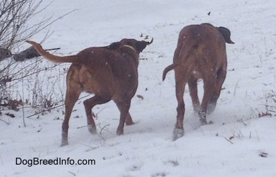The back of two Redbone Coonhounds that are walking across a snowy yard.