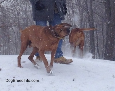 A Redbone Coonhound is shaking off snow that it is covered in. Behind it is a person in a grey coat. There is a second Redbone Coonhound that is walking up a snowy hill.