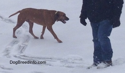 A Redbone Coonhound is walking across a frozen lake that is covered in snow. Its mouth is open and there is a person standing across from it.