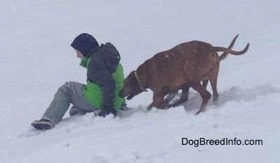 The left side of two Redbone Coonhounds that are running towards the back of a person in a green coat that is sledding down a hill of snow.