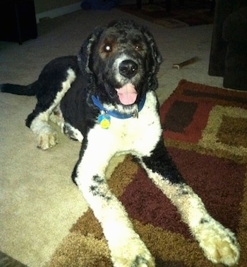 Front view - A shaved black with white, large Saint Berdoodle dog is laying across a rug. It is looking forward its mouth is open and tongue is sticking out. Its front legs are very long.