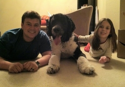 Front view - A black and white Saint Berdoodle dog is laying on a carpet, to its left is a man laying on his stomach next to it and on the right there is a little girl laying on her stomach and she is touching the back of the dog.