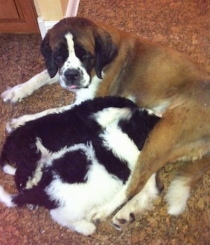 Tut the Saint Berdoodle as a puppy at 6-weeks-old with his littermates nursing from his Saint Bernard mother.