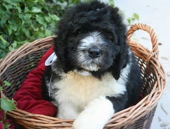 A thick coated, fluffy black with white Saint Berdoodle puppy is laying in a brown wicker basket on top of a red pillow looking forward.