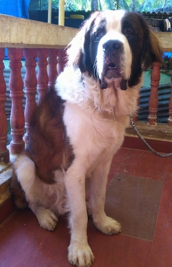 Front side view - A large breed, brown and white with black Saint Bernard is sitting across a porch, it is looking forward and its mouth is slightly open.