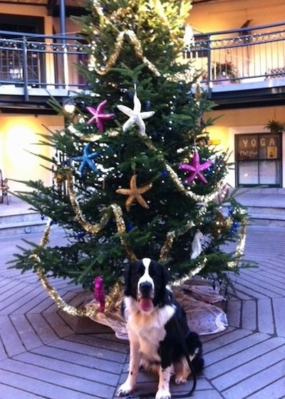 A black and white Saint Bernewfie is sitting in front of a Christmas tree decorated with colorful star fish in a shopping mall. The dog is looking forward and it is panting.