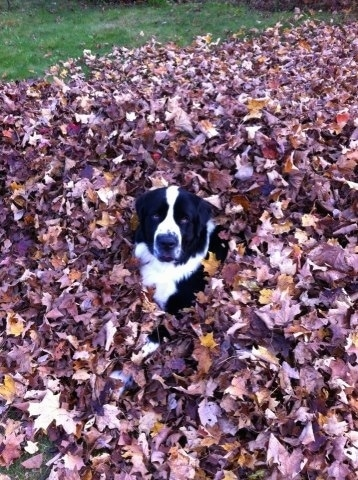 A black and white Saint Bernewfie dog is covered with its head popping out of the middle of brown fallen leaves that are raked into a pile looking up and forward.