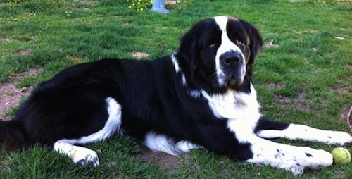 Side view - An extra large breed, black and white Saint Bernewfie is laying across grass and it is looking forward. There is a tennis ball above its front right paw.