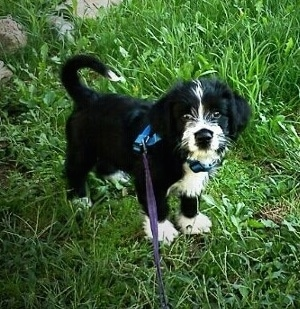 A black with white Scottish Cocker puppy is standing in grass and it is looking forward and up. The pup has longer hair on its head.
