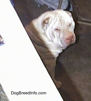 The front right of a tan Chinese Shar-Pei that is sitting on a carpet and it is looking to the right.