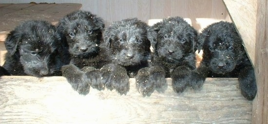 A litter of 5 black Shepadoodle puppies are jumped up with their front paws over the front of a wooden pen wall.