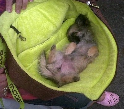 A tan, white and black ShiChi puppy is sleeping on its back belly-up upside down in a persons bag.