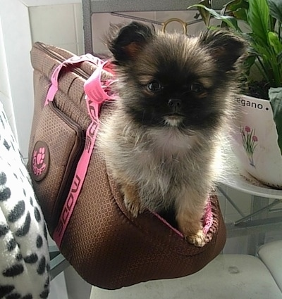 A fuzzy little tan, white and black ShiChi puppy is sitting inside of a persons bag on top of a glass table and it is looking forward. The dog looks like an Ewok from Star Wars.