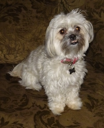 shih tzu mix breeds cute dog pictures 2381