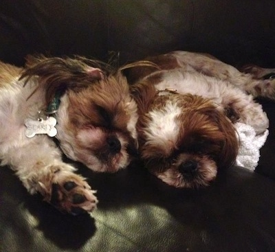 Sparty and Bella the Shih Tzus all grown up