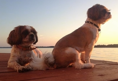 Two shaved brown and white Shih Tzus are sitting and laying on a wooden dock. They are both looking at the right at a body of water.