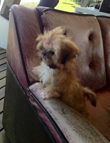 The left side of a small tan with black Shih-Tzu that is standing up against the arm of a couch and it is looking to the left.