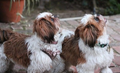 Two brown and white Shih-Tzu puppies are standing on a brick surface looking up and to the right.