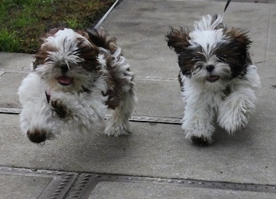 Action shot - Two brown and white Shih-Tzu puppies are running across a concrete surface. Their front paws are off of the ground.