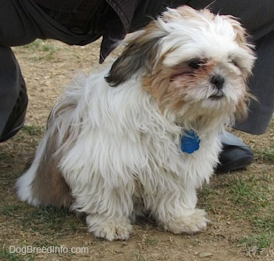 Close up front side view - A thick coated, white with brown and black Shih-Tzu puppy is sitting on ptachy grass, it is looking down and to the right. Behind it is a person kneeling.