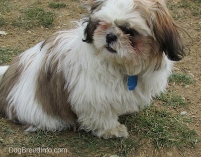Close up - The right side of a white with brown and black Shih-Tzu puppy is sitting on patchy grass and it is looking to the left.