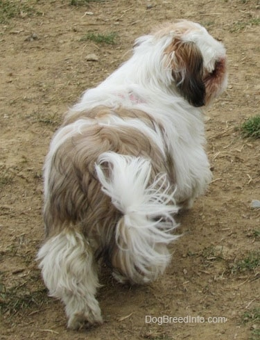 The back of a white with brown and black Shih-Tzu puppy that is walking up brown grass and it is looking to the right.