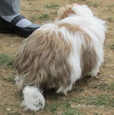 The back of a thick coated, white with brown and black Shih-Tzu puppy is walking up a patchy surface and it is looking at the shoe of a person that is standing next to it.
