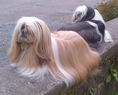 Two long coated, well groomed, Shih Tzus are laying on a stone surface. One is facing backwards and the other one is facing the left. One dog is tan and white and the other dog is black and white.