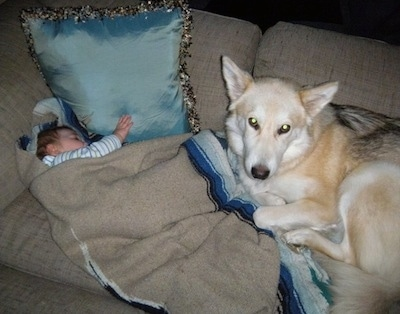 An infant baby is sleeping on a couch and laying across from it is a tan with white Shiloh Shepherd and it is looking up. The dog looks a little like a wolf.