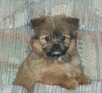 Gizmo the Shiranian (Pom / Shih Tzu mix breed) puppy at 12 weeks