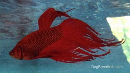Close Up - A red Siamese Fighting Fish is swimming towards the top of the water aquarium