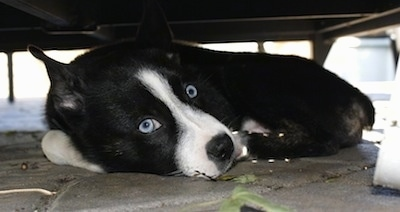 Close up - A shorthaired, black with white Siberian Boston dog is laying down on a stone porch under porch furniture. It has wide, round, bright blue eyes.