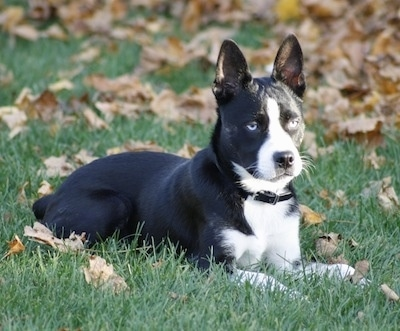 The right side of a blue-eyed, black with white Siberian Boston dog that is laying down in a grassy yard that has brown and yellow fallen leaves all over it. The dog has black perk ears and a short, shiny coat.