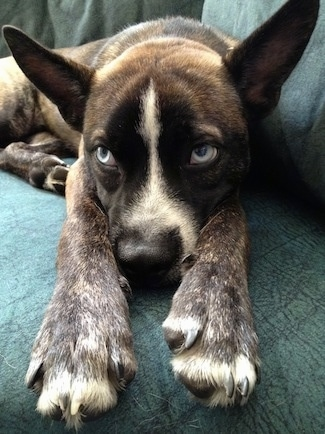 Close up - A brindle with white Siberian Boston is laying down on a couch and it is looking to the left. It has big perk ears that stand up and out to the sides and blue eyes.