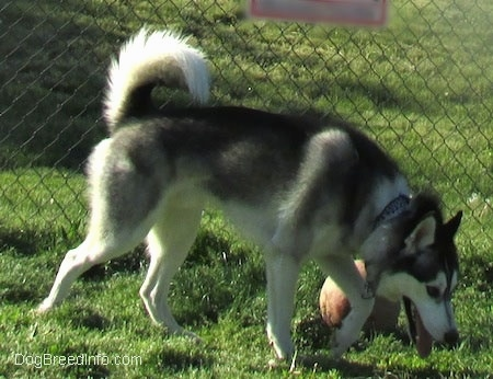 The right side of a black, grey and white Siberian Husky that is walking across a grass surface, it is looking down at the ground, its mouth is open, its tongue is out and its tail is up. There is a chainlink fence and a ball behind it.