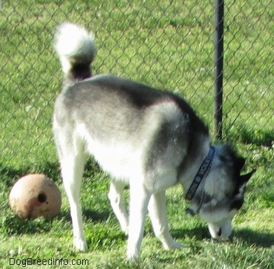 The front left side of a black, grey and white Siberian Husky that is standing in grass sniffing the ground and to the left of it is a ball with a hole in it.