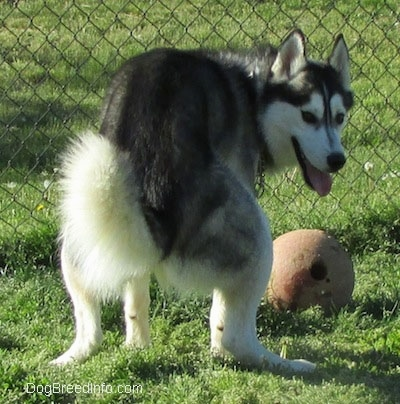 The back of a black, grey and white Siberian Husky that is preparing to do its business, it is looking forward and it is panting. There is a ball in front of it.