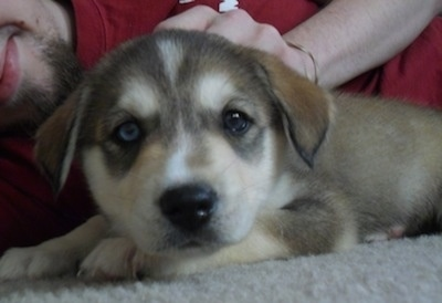 Garrus the Siberian Retriever as a puppy
