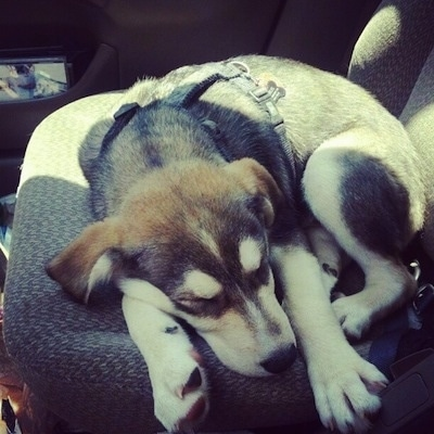 The front of a black with tan and white Siberian Retriever puppy wearing a harness sleeping curled up in a ball in the passenger seat of a vehicle.