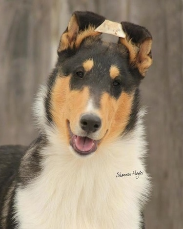 Dallas the tri-colored smooth Collie as a puppy at 4 months old