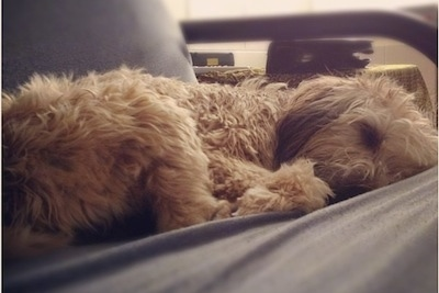 Close up - A wavy, brown Soft Coated Wheaten Terrier is laying down on a futon.
