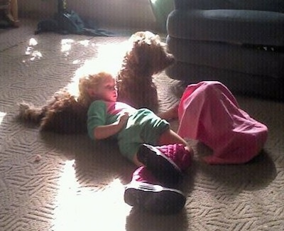 A child is laying on the back of a brown Soft Coated Wheaten Terrier dog watching TV.