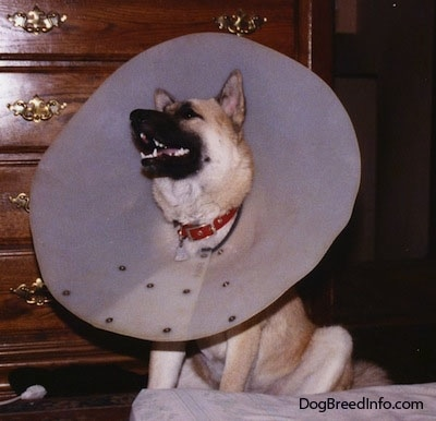 A husky shepherd mix dog wearing a large dog cone, with its mouth open looking up, is sitting in front of a dresser